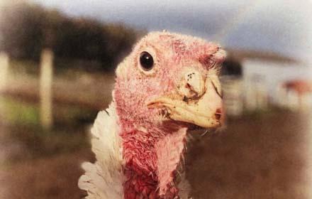 brightside bobbie turkey