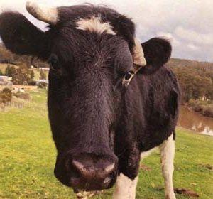 brightside bobbie cow