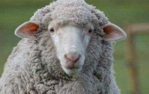 brightside farm sanctuary sheep gillian