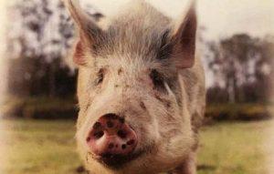 brightside pigs ned