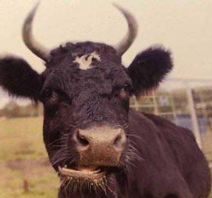 broightside cows tess