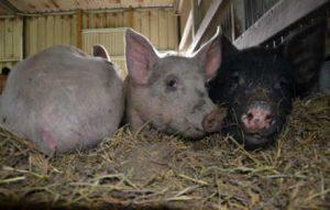 brightside pigs