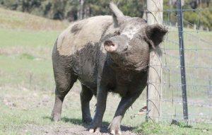 brightside pigs winston
