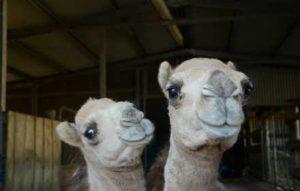 brightside camels