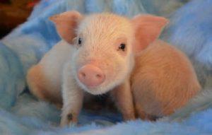 brightside farm sanctuary pig henry