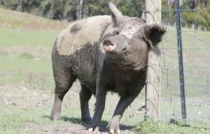brightside farm sanctuary pig winston