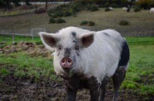 brightside farm sanctuary mini pigs